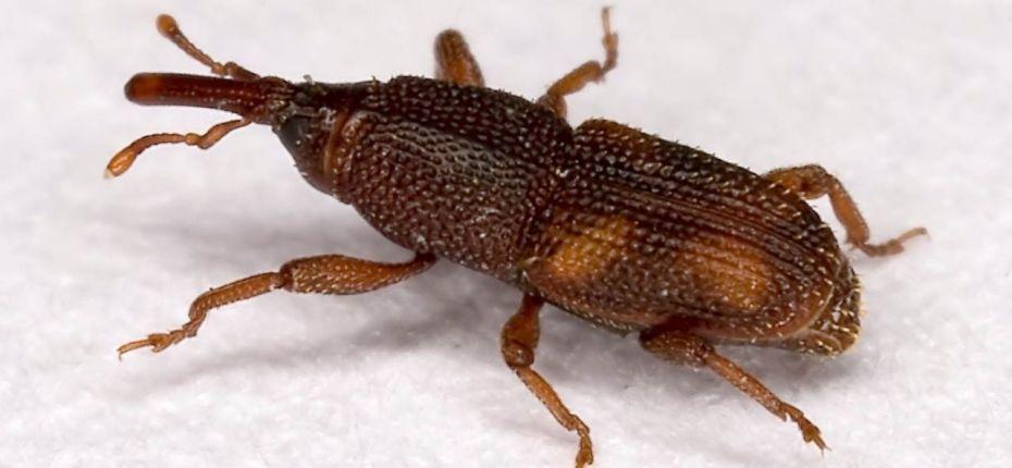 Рисовый долгоносик - Sitophilus oryzae L.