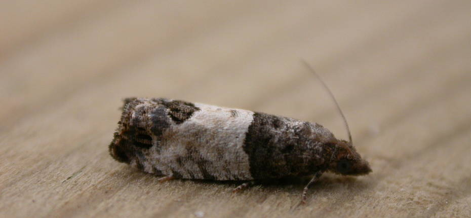 Почковая листовертка-вертунья - Spilonota ocellana (Den. et Shiff.)
