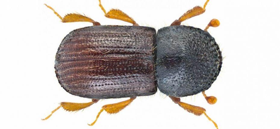 Короед западный непарный - Xyleborus dispar F.
