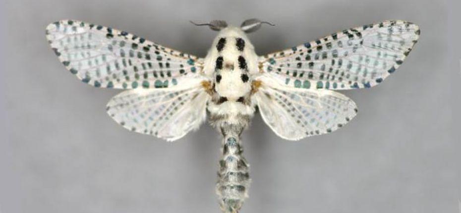 Древесница въедливая - Zeuzera pyrina L.