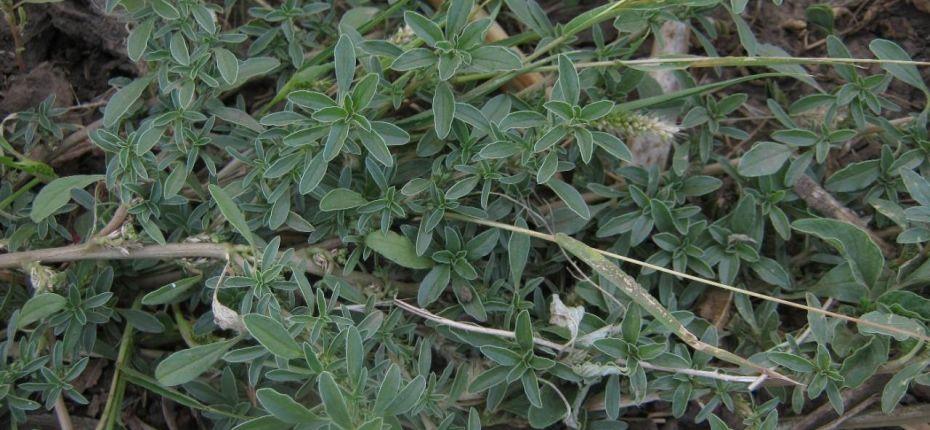 Amaranthus albus L. - Щирица белая