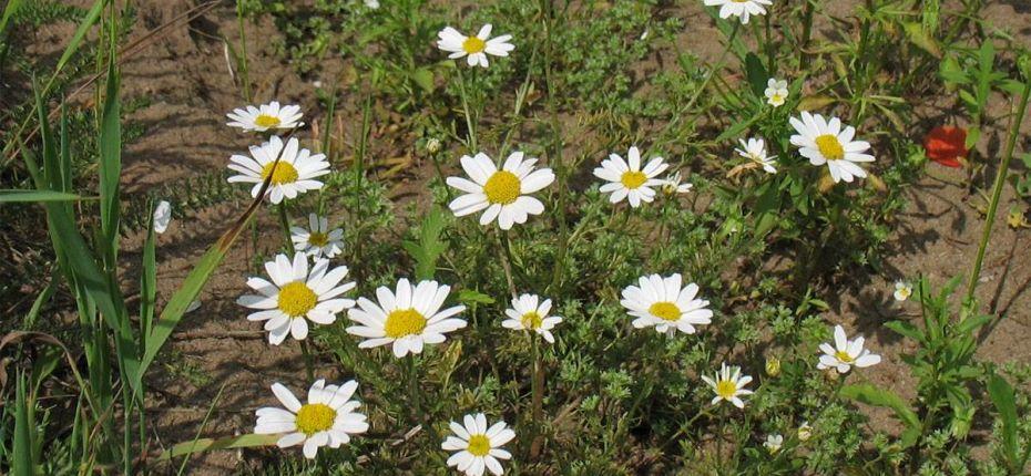 Anthemis arvensis L. - Пупавка полевая