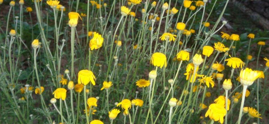 Anthemis tinctoria L. - Пупавка красильная