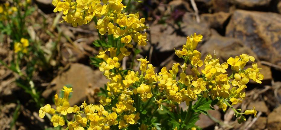 Barbarea vulgaris R.Br. - Сурепка обыкновенная