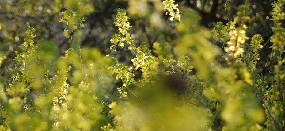 Brassica campestris L. - Капуста полевая
