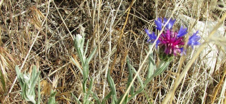 Василек приплюснутый - Centaurea depressa Bieb.