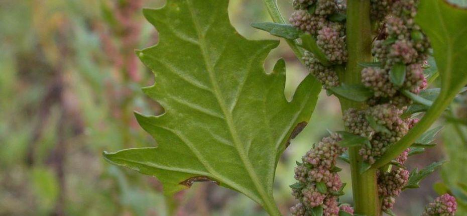 Марь красная - Chenopodium rubrum L.