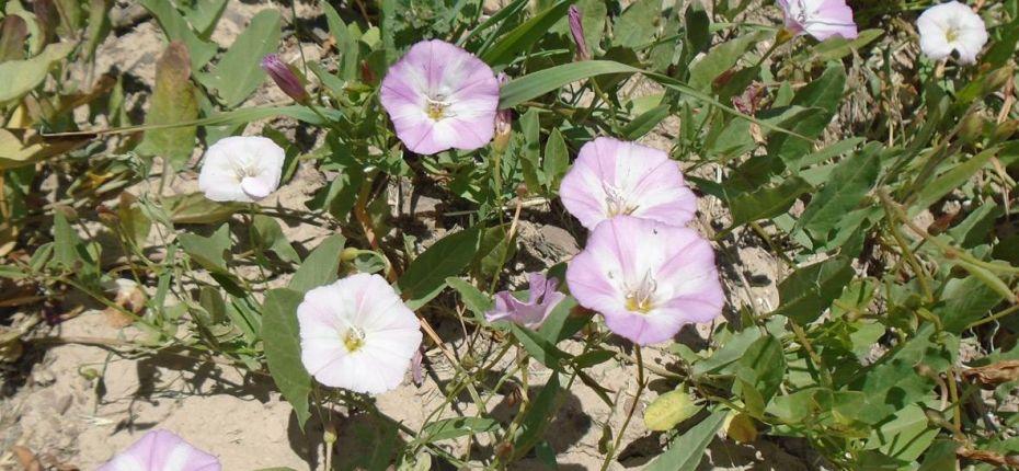 Convolvulus arvensis L. - Вьюнок полевой, березка