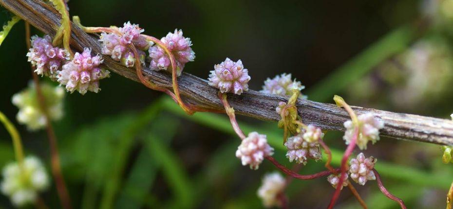 Cuscuta europaea L. - Повилика европейская
