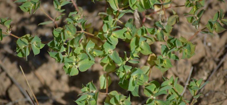 Euphorbia falcata L. - Молочай серповидный