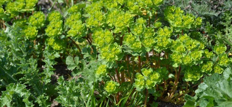 Euphorbia helioscopia L. - Молочай солнцегляд, солнечный