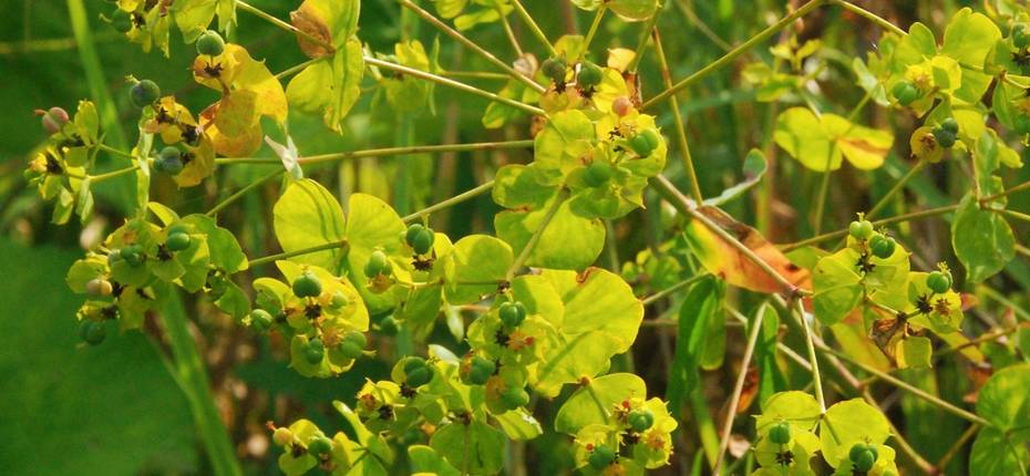 Euphorbia virgata Waldst. & Kit. - Молочай лозный, прутьевидный