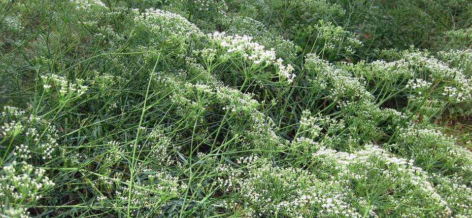 Falcaria vulgaris Bernh. - Резак обыкновенный
