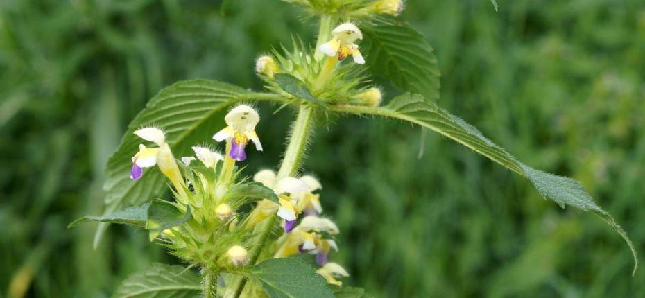 Galeopsis speciosa Mill. - Пикульник заметный, красивый, зябра, жабрей