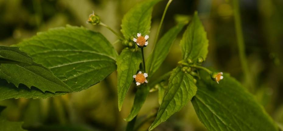 Галинсога мелкоцветковая - GalinsogaparvifloraCav.