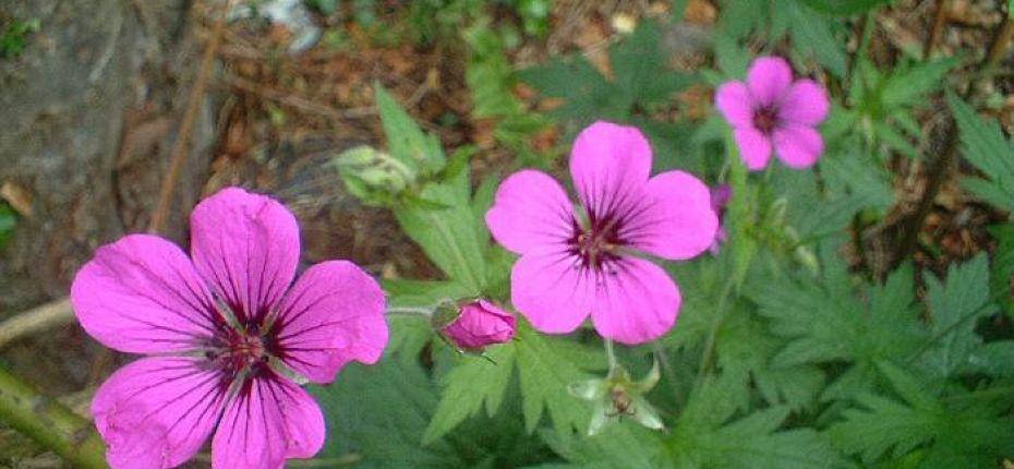 Герань мелкотычинковая - Geranium psilostemonLedeb.