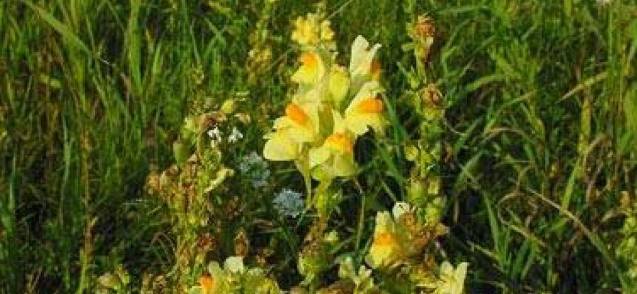 Linaria vulgaris (L.) Mill. - Льнянка обыкновенная.