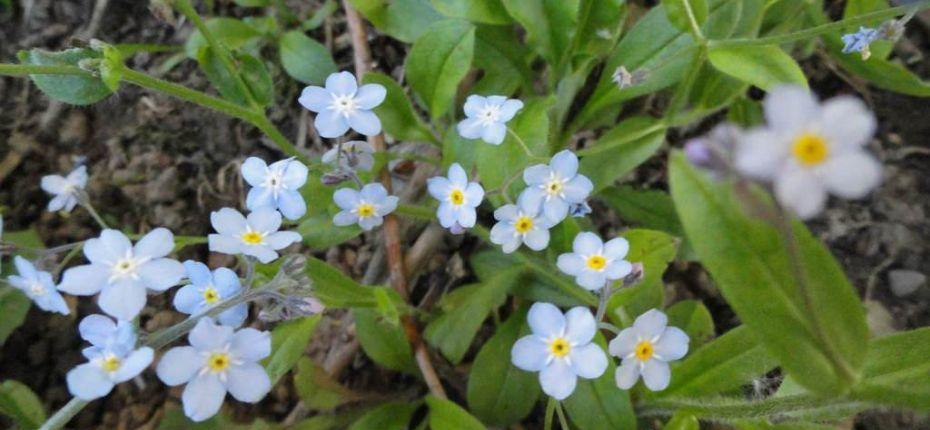 Незабудка полевая - Myosotis arvensis (L.) Hill