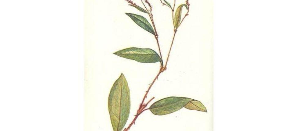 Persicaria bungeana (Turcz.) Nakai ex Mori. - Горец Бунге