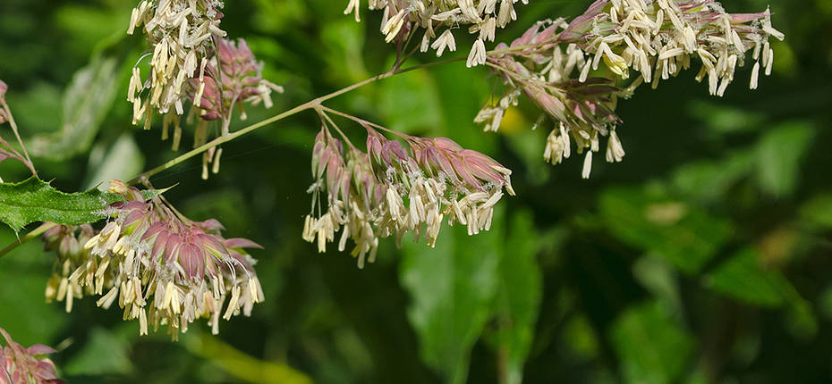 Phalaris arundinacea - Канареечник тростниковидный