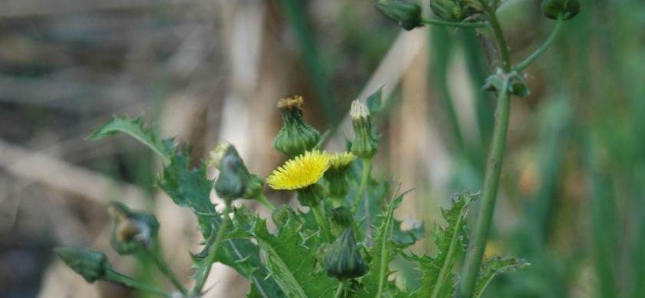 Осот огородный - SonchusoleraceusL.