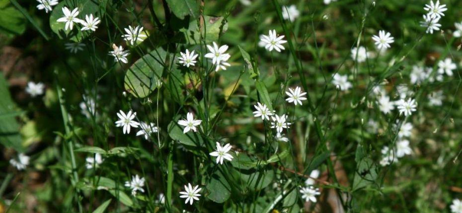 Stellaria graminea L. - Звездчатка злаковидная, злачная, пьяная трава