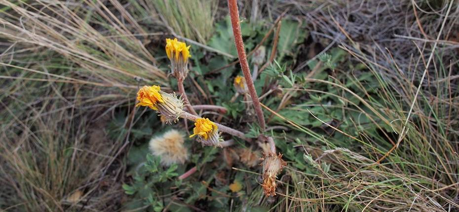 Одуванчик поздний, осенний - Taraxacumserotinum(Waldst. & Kit.) Poir.