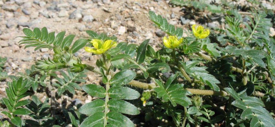 Tribulus terrestris L. - Якорцы наземные