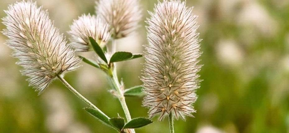Клевер пашенный - TrifoliumarvenseL.