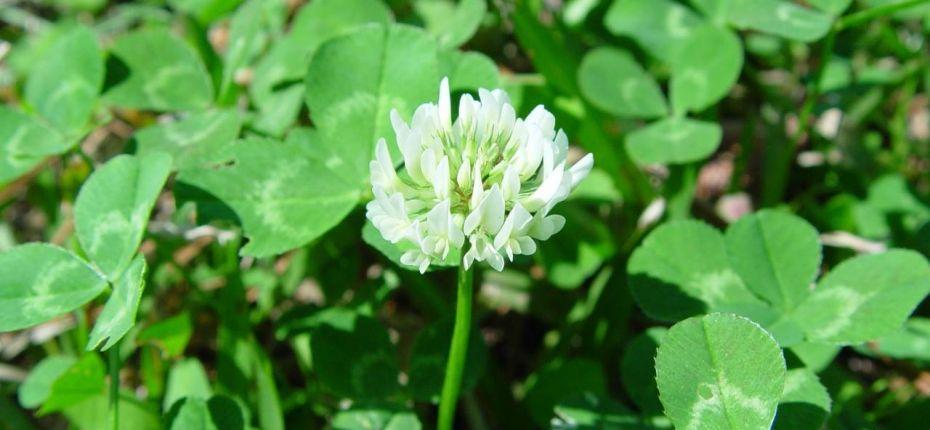 Клевер ползучий - Trifolium repens L.