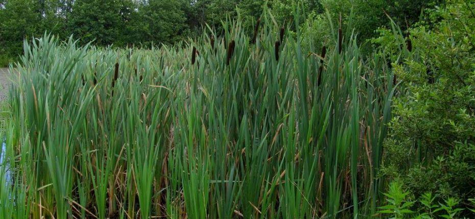 Typha latifolia L. - Рогоз широколистный