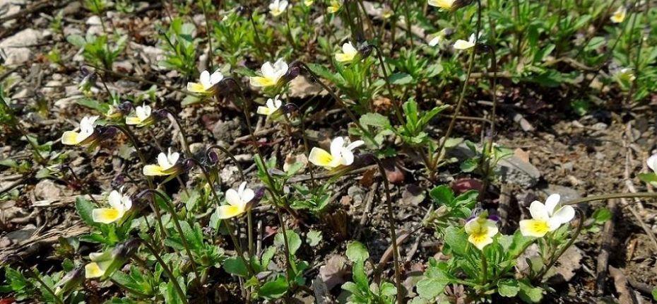 Viola arvensis Murr. - Фиалка полевая