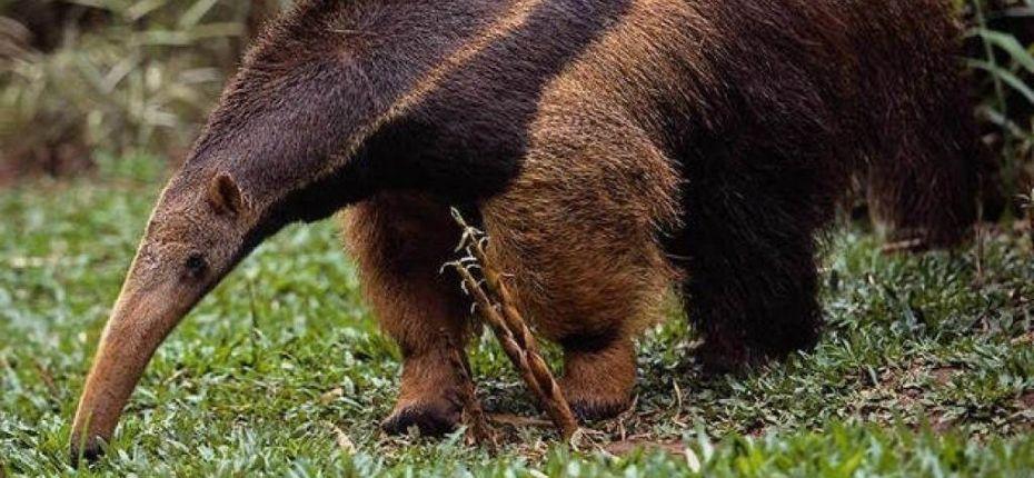 Обладателем самого длинного языка животных является млекопитающее — муравьед. Его голова напоминает вытянутый хобот, но длинный язык не помещается даже в таком «футляре». Поэтому язык муравьеда начинается не во рту и не в горле — он прикреплен к грудной кости.