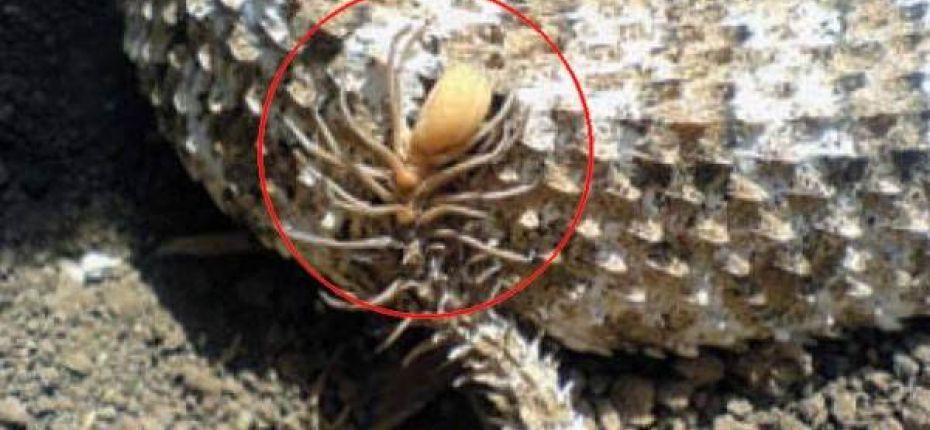 У одного вида гадюк на кончике хвоста имеется образование в виде паука