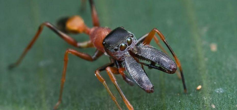 Насекомые и пауки мимикрируют под муравьёв