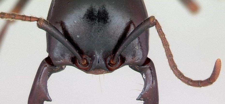 Какие насекомые могут использоваться при порезах вместо хирургических швов