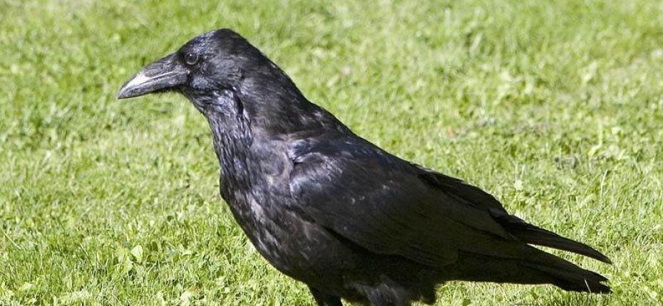 Кем приходятся друг другу ворон и ворона
