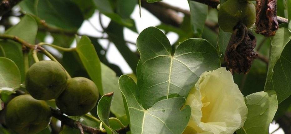 Дерево манцинелла