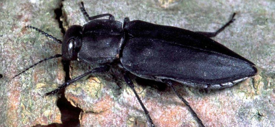 Стихийное бедствие благоприятно для размножения жуков