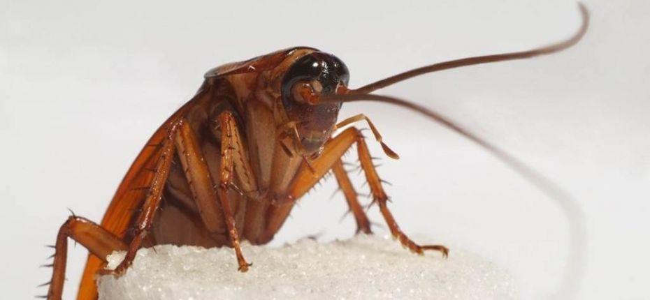 Могут ли тараканы жить без пищи