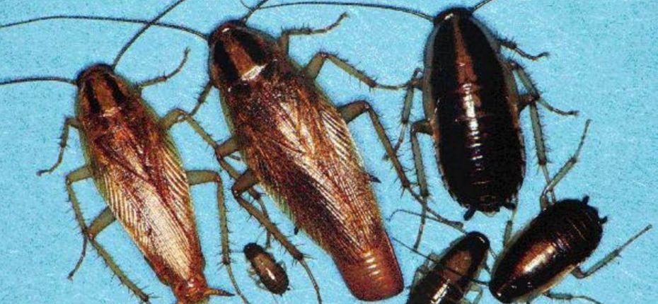 Самое живучее насекомое