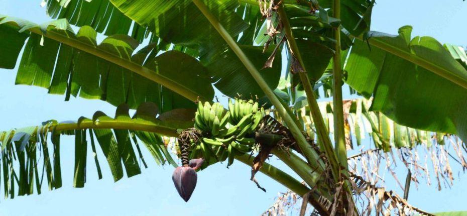 Бананы не растут на пальмах