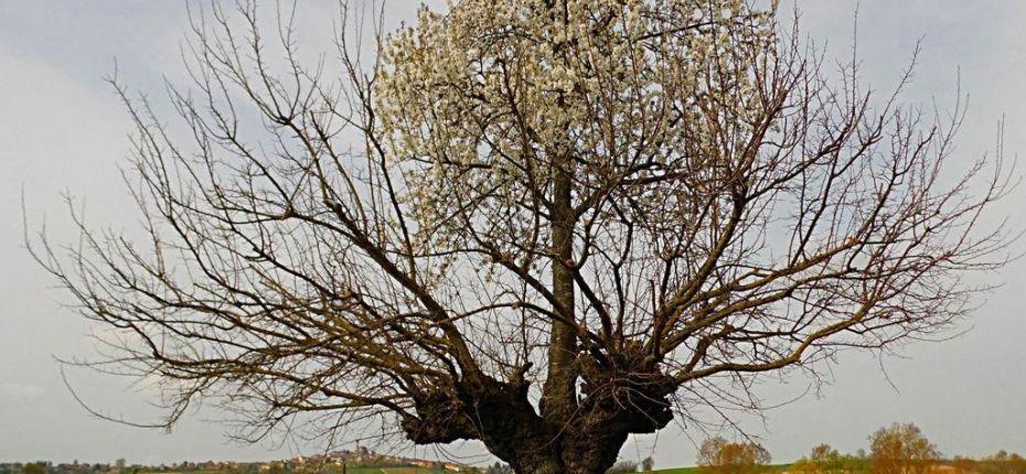 Вишня, растущая на вершине тутового дерева