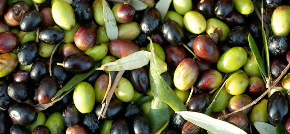 Механизм превращения зелёных оливок в чёрные