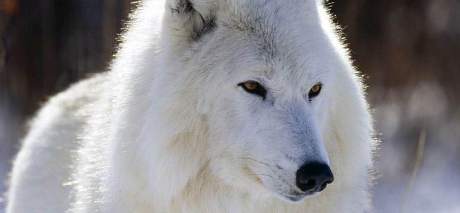 Шубка волка состоит из двух слоев