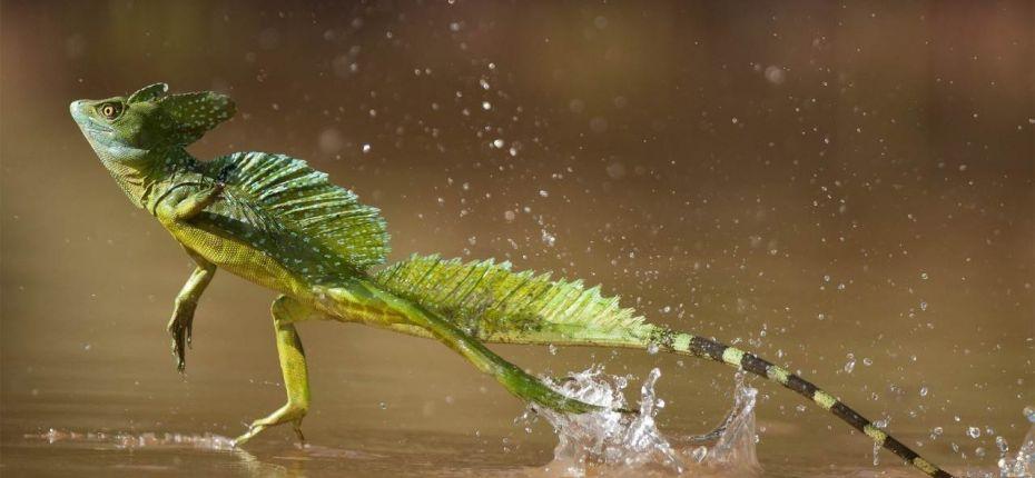 Способны бегать по поверхности воды