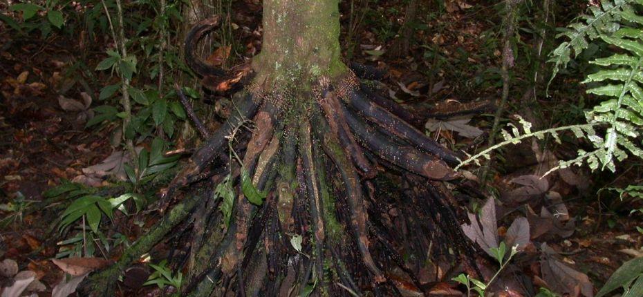 Пальма с самой необычной формой корней