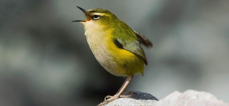 Животное в одиночку истребило целый вид птиц