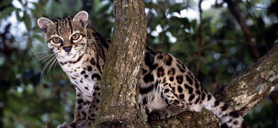 Охота амазонской длиннохвостой кошки