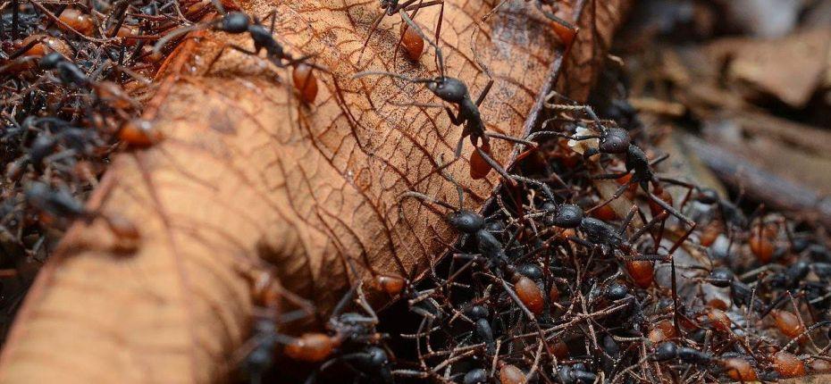 Как живут бродячие муравьи
